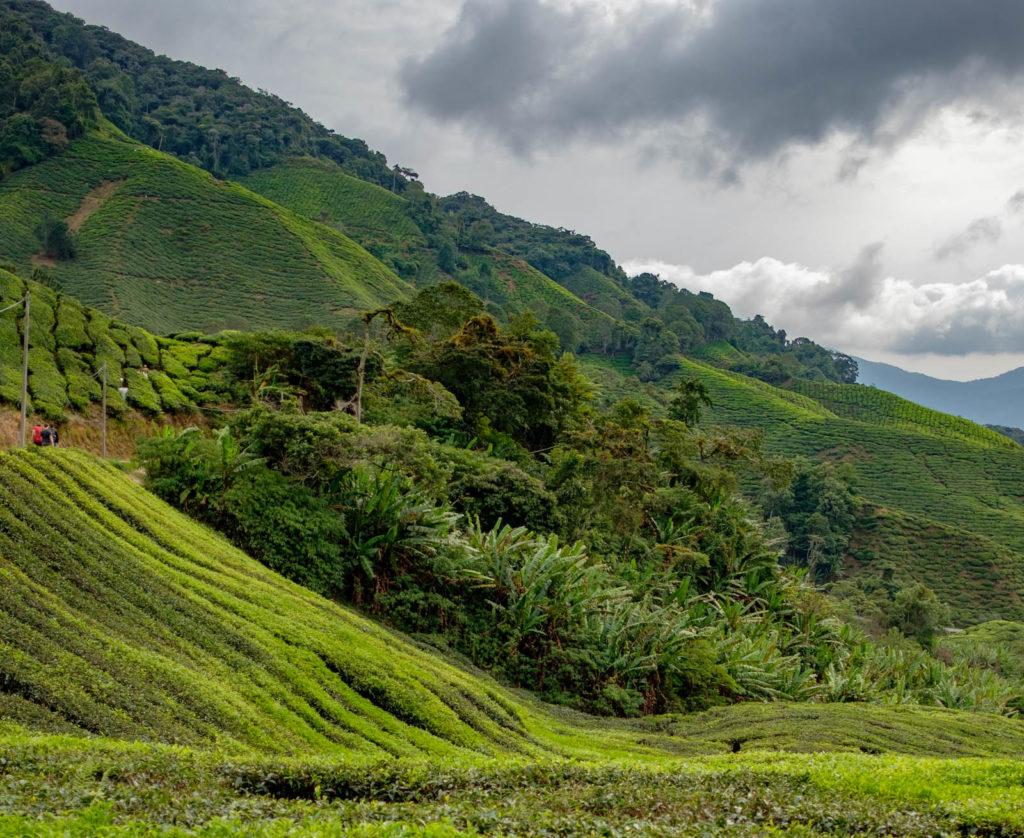 Champs de thé en Malaisie