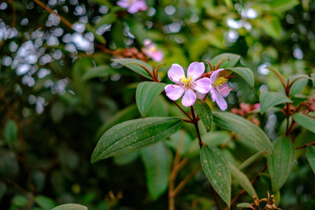 La flore des Cameron Highlands Malaisie
