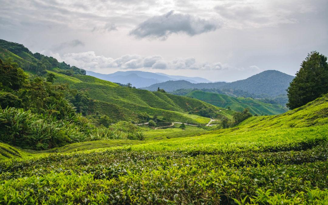 Découvrir les Cameron Highlands en Malaisie