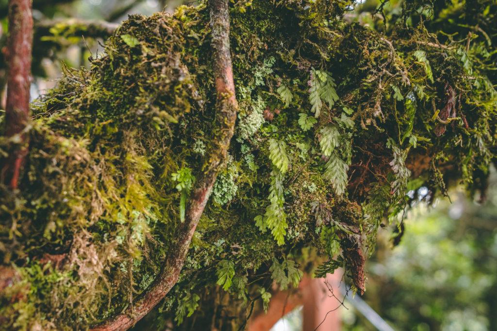 La mousse des arbres de la Mossy Forest - Cameron Highlands
