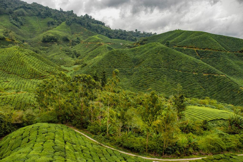 Les cameron Highlands en Malaisie