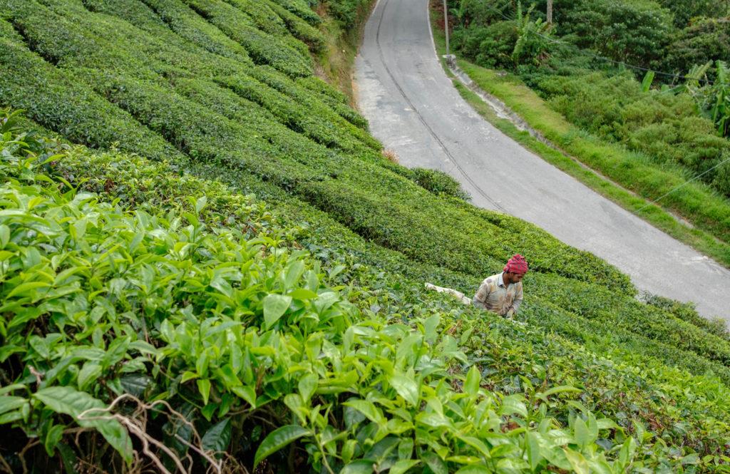Cueilleur de thé aux Cameron Highlands - Vanema