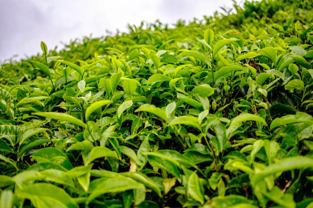 Les feuilles de thé aux Cameron Highlands