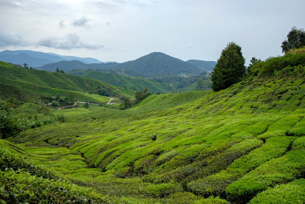 Plantation de thé aux Cameron Highlands