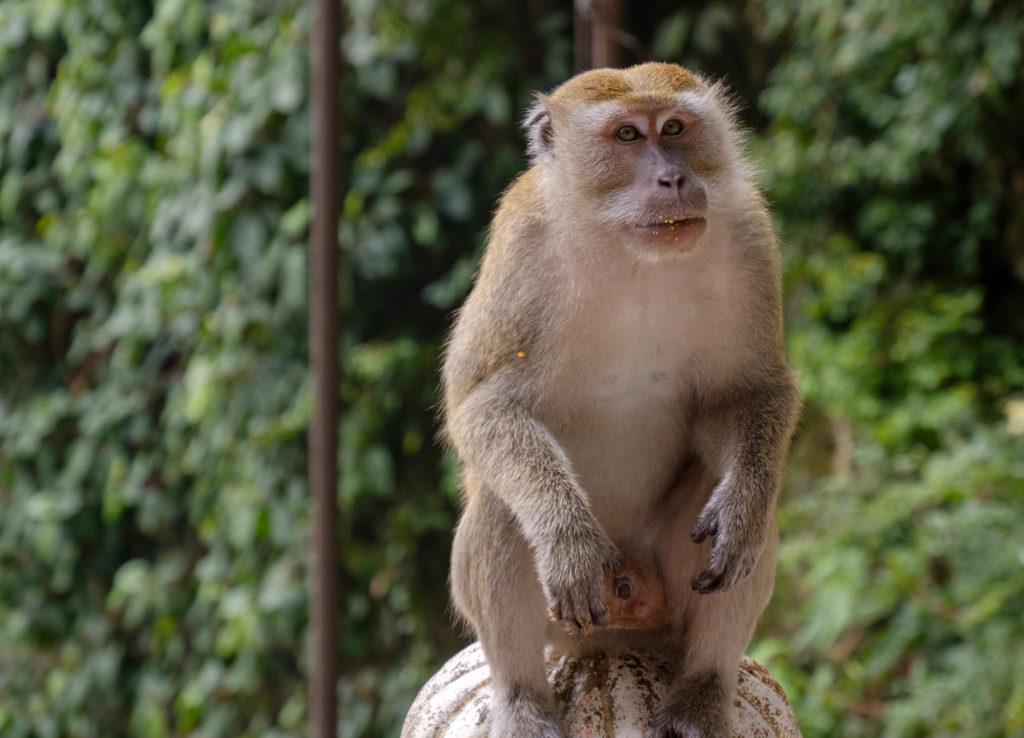 Les singes des Batu Caves