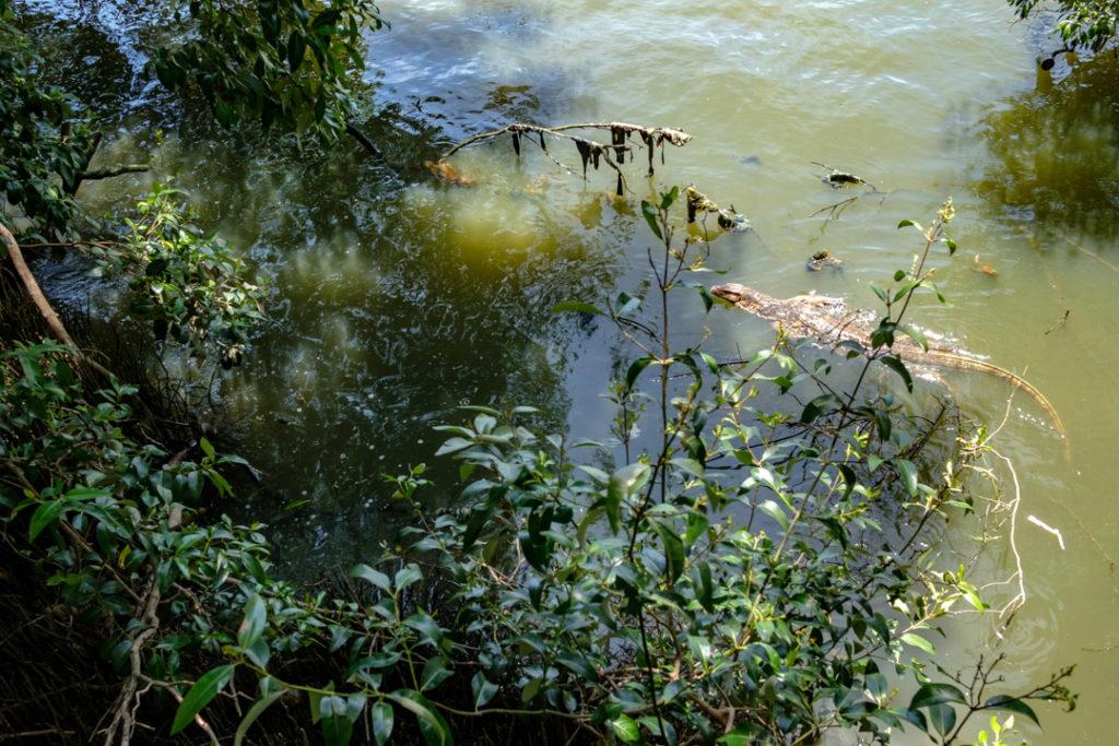 Un varan dans l'eau