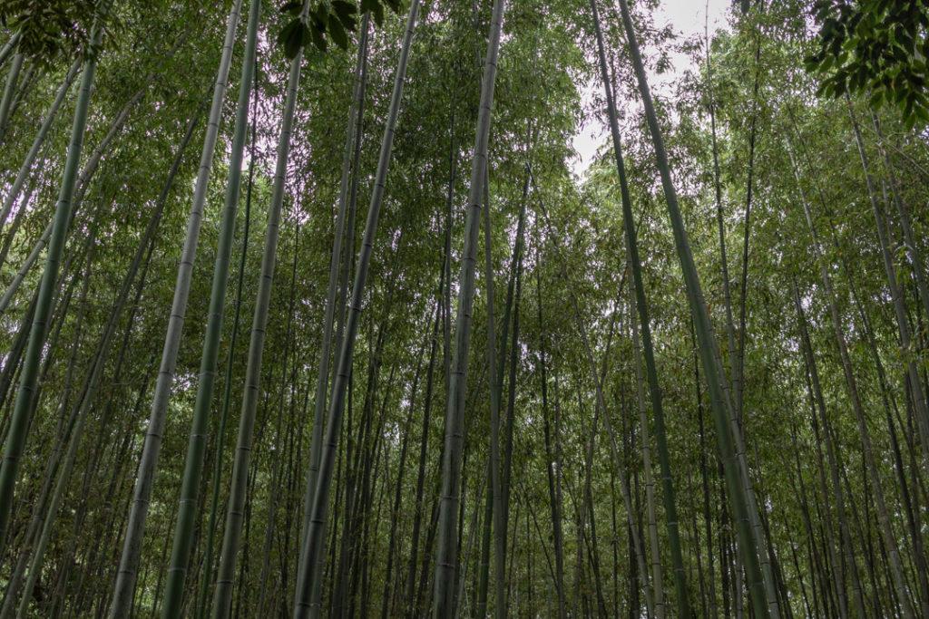 La forêt de bambous d'Arashiyama au Japon