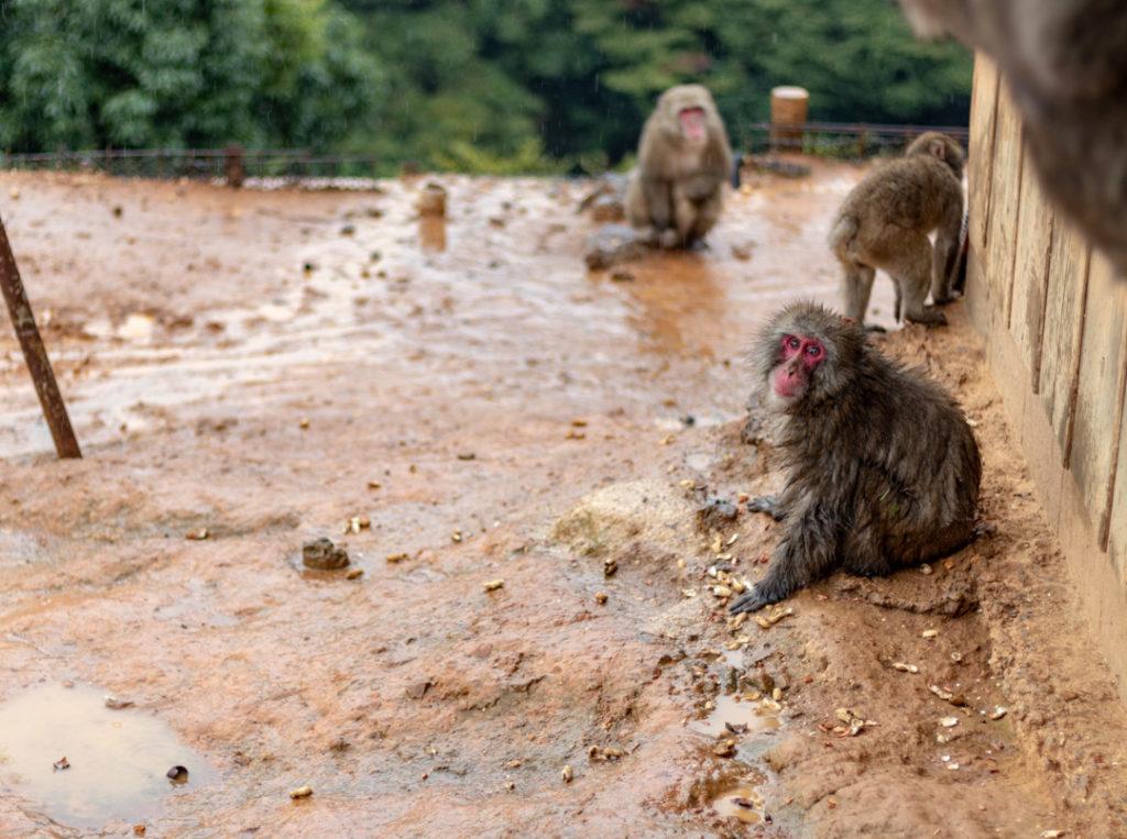 Parc aux singes d'Iwatayama