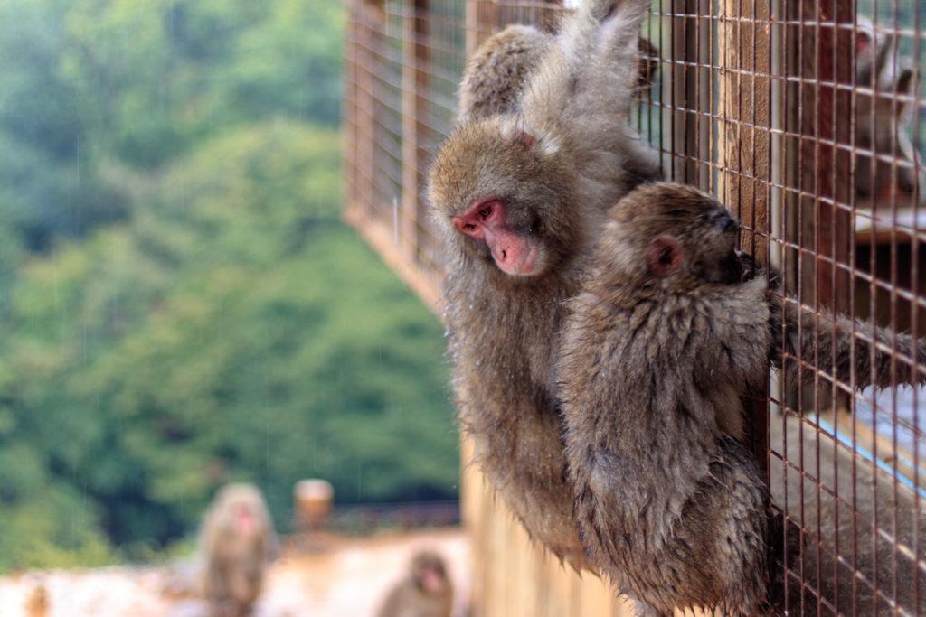 Le parc aux singes d'Iwatayama