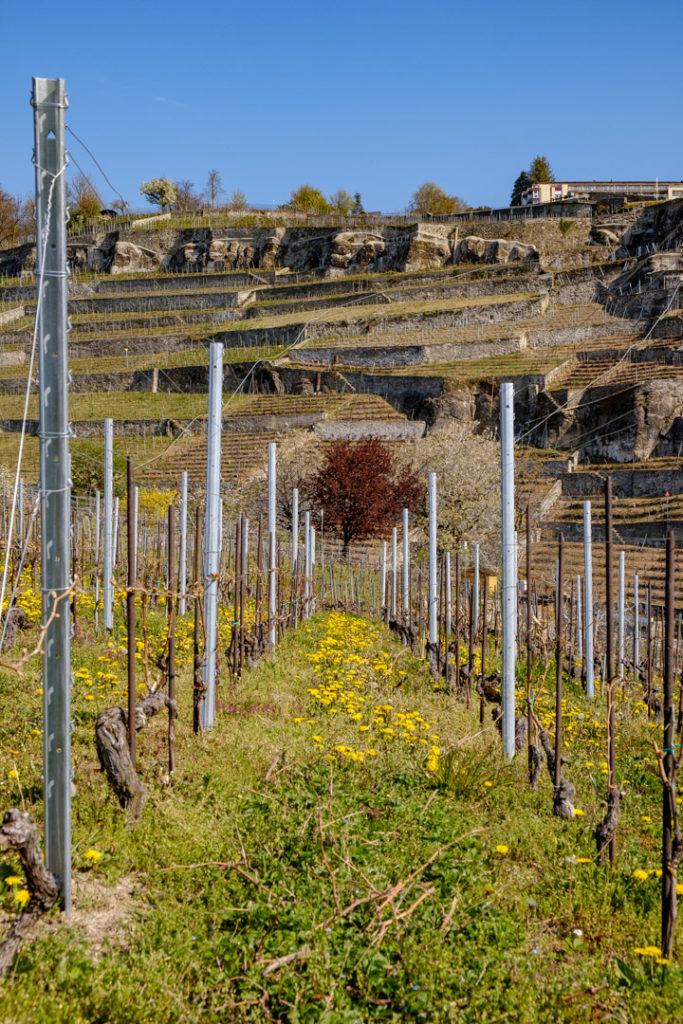 Vue des vignes de Lavaux