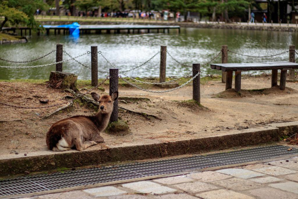 Un daim à Nara