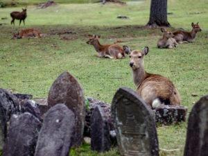 Une biche à Nara