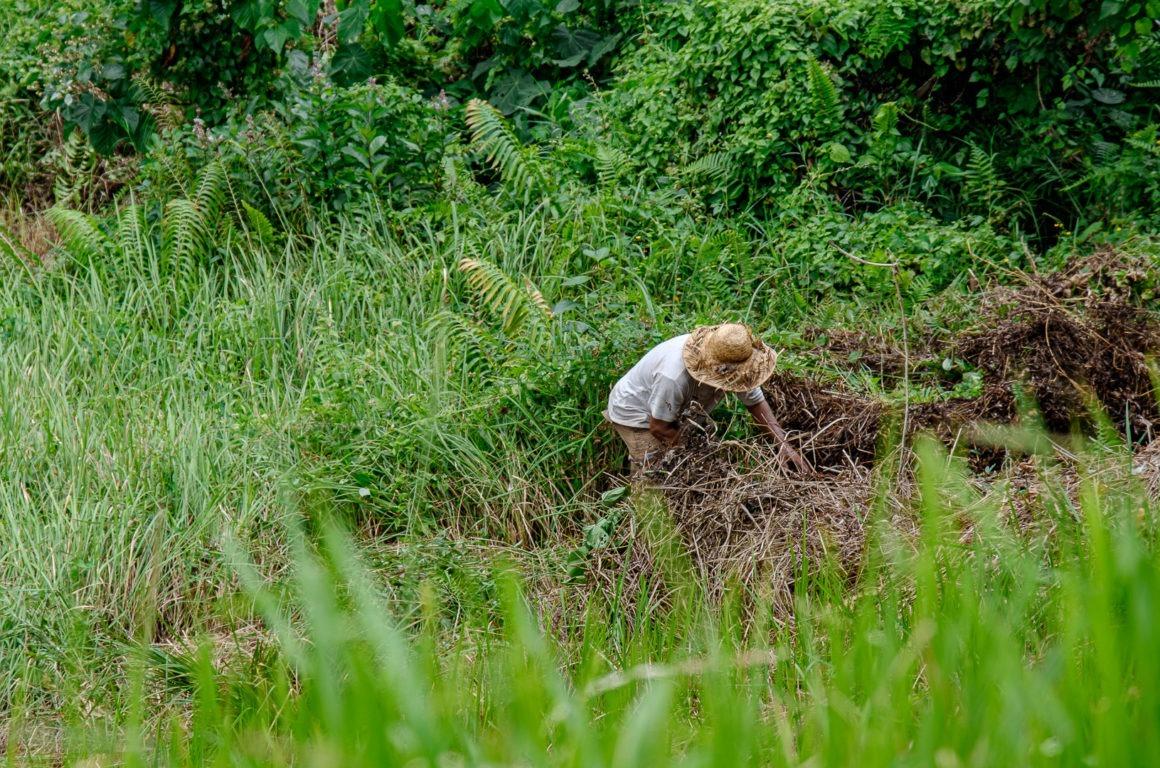 On peut croiser des Balinais travailler leur champs à Ubud